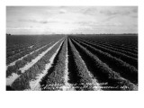 Brownsville  Texas - Lower Rio Grande Valley Carrot Field