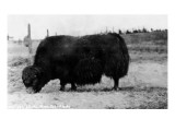 Alaska - View of a Yak or a Arctic Musk Ox