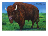 Wind Cave Nat'l Park  South Dakota - Bull Buffalo in Black Hills