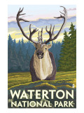 Waterton National Park  Canada - Caribou