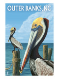 Outer Banks  North Carolina - Pelicans