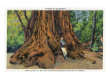 Big Basin  California - Father of the Forest Tree  5000 Years old