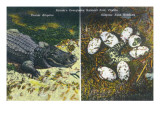 Everglades Nat'l Park  Florida - View of Alligator and Hatching Eggs