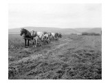 Cutting Alfalfa Ellensburg  1911