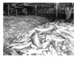 Apex Cannery Salmon  1913