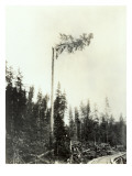 High Climber Topping Tree  1923