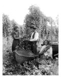 Native American Hop Pickers  1909