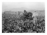 Plowing the Beet Field  1928