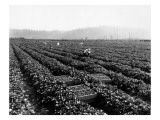 Strawberry Harvesting  1920