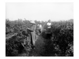 Puyallup  Blackberries  1916