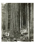 Mount Rainier Road  Large Fir Trunk  1914