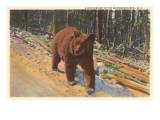 Bear in the Adirondack  New York