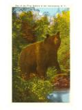 Bear in the Adirondacks  New York