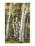 Silver Birches  Lake George  New York
