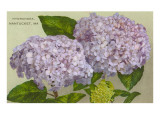 Hydrangeas  Nantucket  Massachusetts