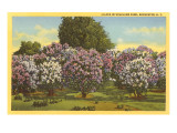 Lilacs  Highland Park  Rochester  New York