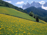Dolomites Mountains and Wild Yellow Flowers  Villnoss / Val Di Funes  Trentino  Italy