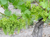 Grapes on Vine in a Vineyard  Bordeaux  France