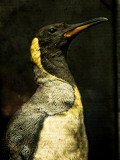 A Taxidermy King Penguin