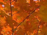 USA  Maine  Wiscasset  Autumn Leaves / Fall Colors