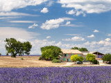 Farmhouse in a Lavender Field  Provence  France