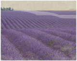 Lavender On Linen I