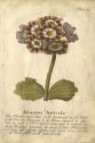 Vintage Auricula II