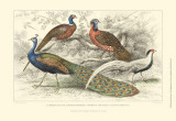 Peacock & Pheasants