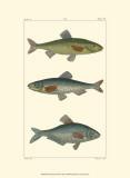 Freshwater Fish III