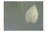 Lotus Detail VI