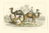 Asiatic Camels