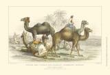Asiatic Camels