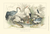 Herons  Egrets & Cranes