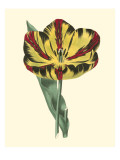Antique Tulip I