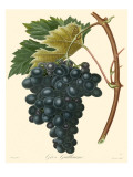 Bessa Grapes II