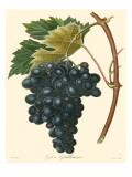 Bessa Grapes II
