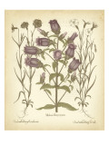 Tinted Besler Botanical II