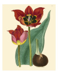 Elegant Tulips II