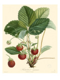 Bessa Strawberries
