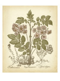 Tinted Besler Botanical III
