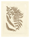 Sepia Ferns III
