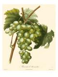 Bessa Grapes I