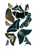 Blue Butterfly Study