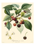 Bessa Cherries