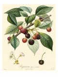 Bessa Cherries