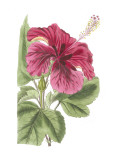 Antique Hibiscus I