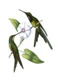 Delicate Hummingbird III