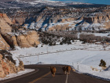 Three Cows on a Highway  Utah State Route 12  Boulder  Garfield County  Utah  USA