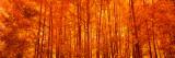 Aspen Trees at Sunrise in Autumn, Colorado, USA Papier Photo