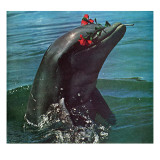 """Trained Dolphin "" January 4  1964"